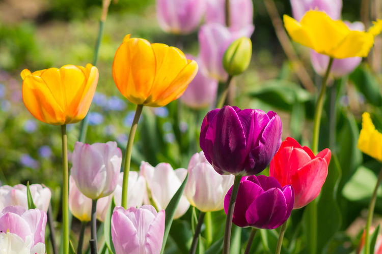 Colorful tulips Art Is Everywhere Beauty In Nature Blooming Close-up Field Flower Flower Head Flowerbed Focus On Foreground Fragility Freshness Growth Macro Macro Beauty Nature Outdoors Petal Plant Spring Spring Flowers Springtime Tulip Tulips Yellow