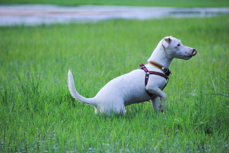 Pets Dog Canine Domestic Domestic Animals Animal Themes Grass Animal Mammal One Animal Plant Green Color Collar Vertebrate Pet Collar Land Field Nature Growth No People Jack Russell Terrier Weimaraner