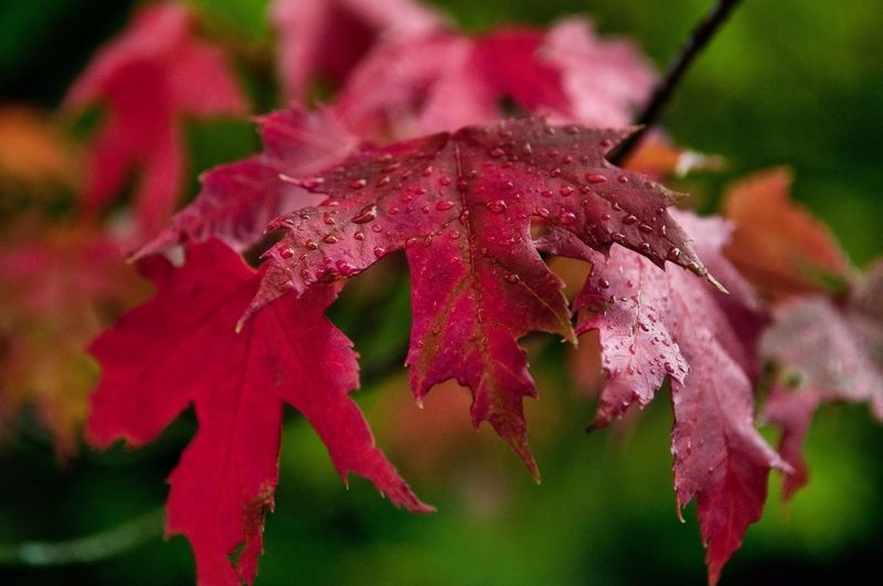 Close-up of wet red leaves
