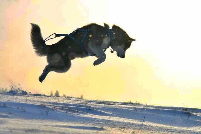 Siberian husky - Argo - Hunter First Eyeem Photo Siberian Huskies Siberian Husky Mushing Mountains Dog Animal Nature Snow ❄ Mountain Husky