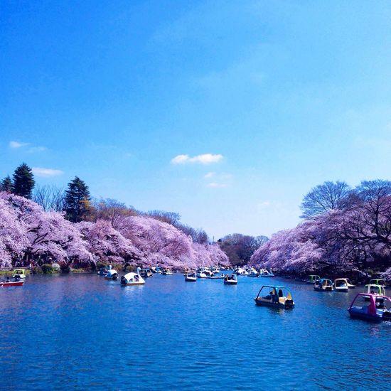 Sakura Cherry Blossoms Park Taking Photos Beautiful Day