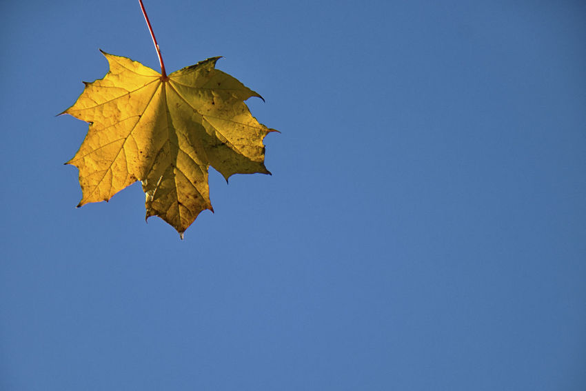 Plant Part Leaf Autumn Change Nature Maple Leaf No People Day Copy Space Leaf Vein Sky Low Angle View Plant Beauty In Nature Blue Clear Sky Close-up Outdoors Maple Tree Tree Leaves Natural Condition