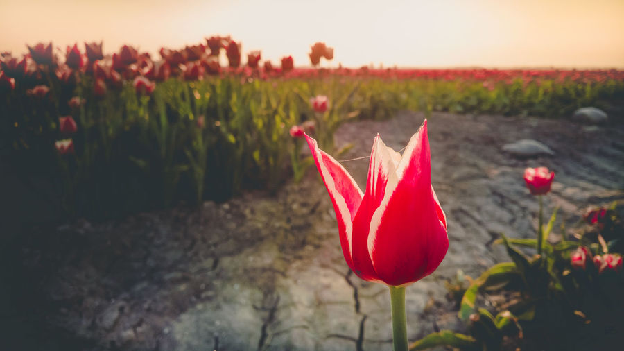 Beauty In Nature Close-up Field Flower Flower Head Flowering Plant Focus On Foreground Fragility Freshness Growth Inflorescence Land Nature No People Outdoors Petal Plant Poppy Red Sunset Tranquility Vulnerability