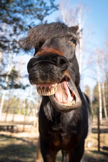 Close-up of a yawning horse