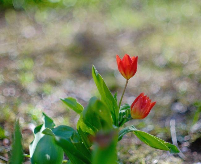 Flower Flowering Plant Close-up Red Flower Head Selective Focus Plant Part Tulips🌷 Inmygarden Analoglens
