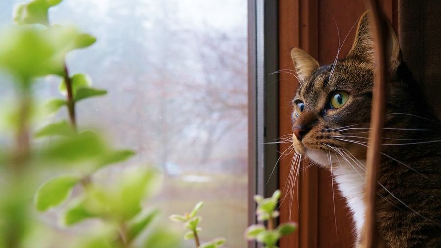 Rosie looking out the window Animal Themes Brown Color Cat Close-up Day Domestic Animals Domestic Cat Feline Golden Ratio Green Green Eyes Home Interior Indoors  Looking Out Of The Window Mammal No People One Animal Pets Succulents Window Pet Portraits