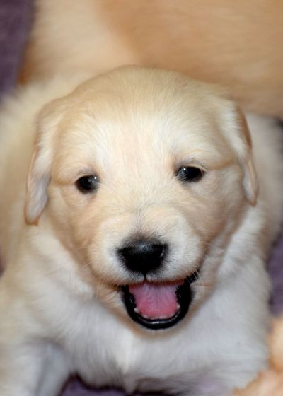 Animal Themes Close-up Day Dog Domestic Animals Golden Retriever Indoors  Looking At Camera Mammal No People One Animal Pets Portrait
