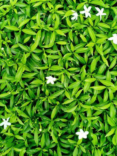 green leaf Leaf