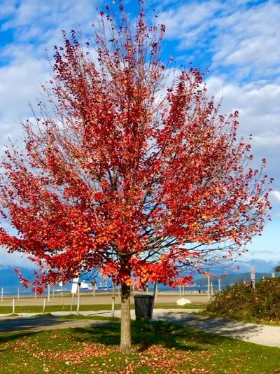 Red flowering tree against sky