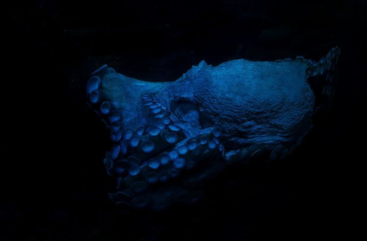 Decided to do a few redits of my favourite photos from the Ripley's Aquarium in Toronto. Nature Octopus Toronto Creative Creativephotography Creativephoto Photoshop