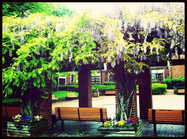 A terrace with blooming lilacs covering. At WVSU Flowerpower WVSU W. VIRGINIA I<3 Photography