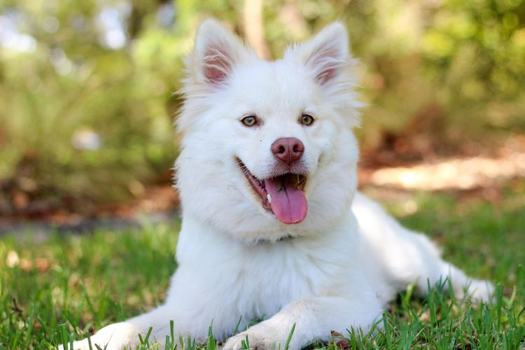 Best animal in the word Animal Themes Dog One Animal White Color Animal Animal Tongue Domestic Animals Looking At Camera Nature Day Domestic Focus On Foreground Portrait Field No People Panting Grass Canine Mouth Open Vertebrate Pets Mammal Outdoors Land Plant First Eyeem Photo