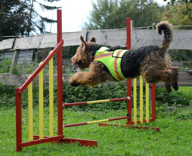 Fluohesje Dog Jumping Dog Airedaleterrier Airedale Agility Behendigheid Sport Sport Hond Hondensport