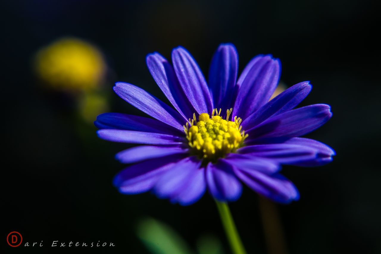 flower, petal, nature, growth, beauty in nature, flower head, fragility, plant, no people, freshness, blooming, close-up, blue, yellow, outdoors, osteospermum, day