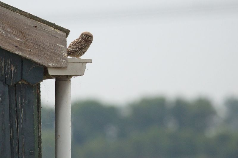 Low Angle View Of Little Owl Perching On Roof