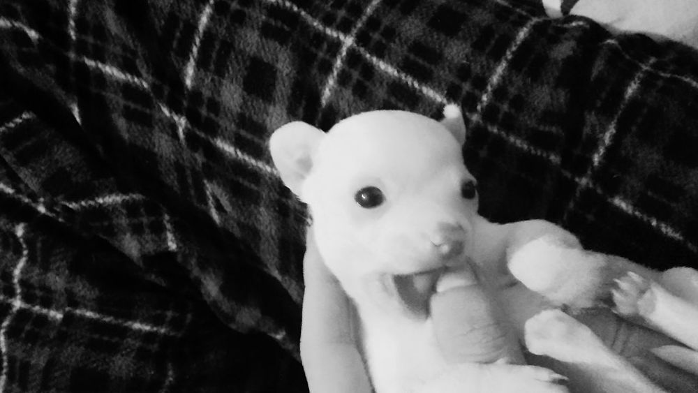 Puppy Love Teething Toy Chichuachua Simple Photography Blackandwhite Bonding Time EyeEm Best Shots From My Point Of View Alabama At Home Sweet Home Just Waking Up