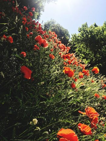Red is in the air Amapolas Vallmo Plant Growth Nature No People Outdoors