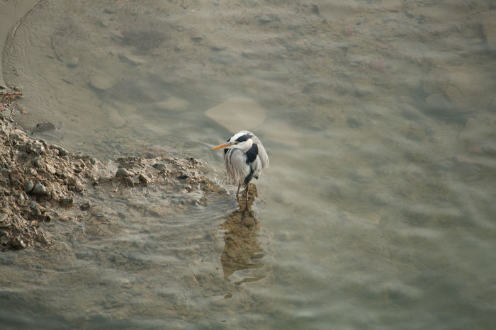 Heron in the riverside Airone Airone Cenerino Animal Themes Beach Bird Dog Domestic Animals High Angle View Mammal Motion Nature One Animal Pets Rippled River Riverside Sand Sea Shore Surf Swimming Water Waterfront Wave Wet