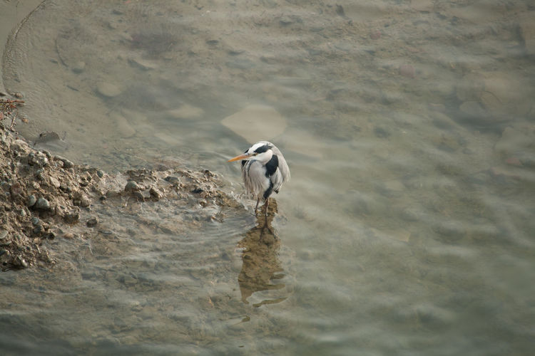 Heron In Lake