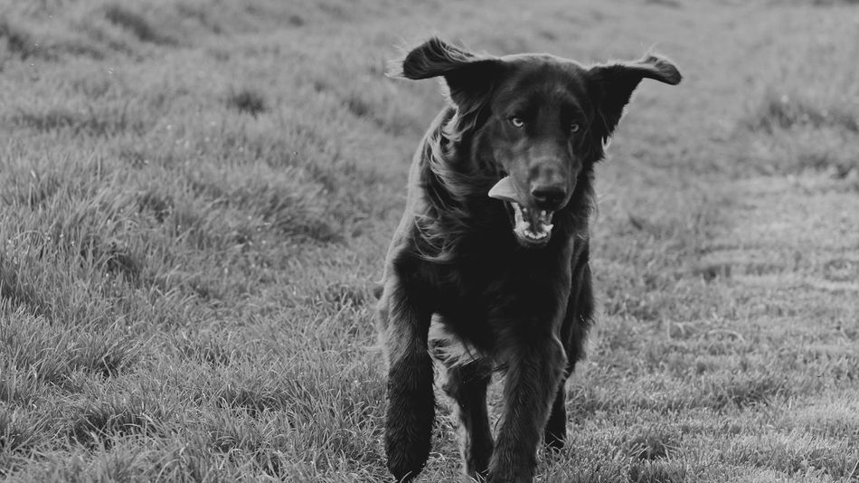 Animal Animal Head  Animal Themes Animal Collection Black Color Blackandwhite Bw_collection Bw_lover Bw_portraits Close-up Dog Dog Love Dogs Of EyeEm Dogslife Domestic Animals Flat Flatcoated Retriever Grass Heilbronn Landscape Nature Outdoors Pets Portrait Selective Focus