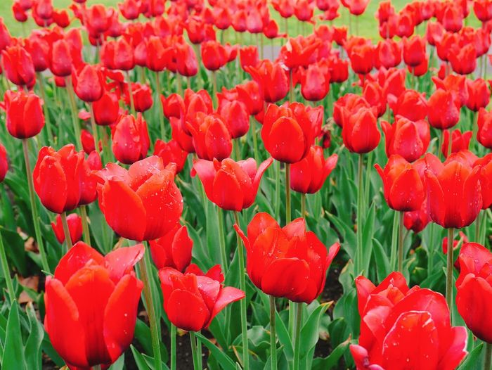 Beauty In Nature Close-up Flower Flower Head Flowerbed Flowering Plant Freshness Green Color Nature No People Plant Red Tulip