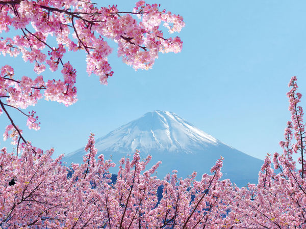 fuji mount & sakura Beauty In Nature Blue Branch Cherry Blossoms Clear Sky Flower Fujimountain Japan Landscape Mountain Nature No People Outdoors Pink Flower Sakura Sky Snow Spring Tree