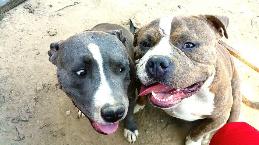 Thong Dogkisses Bestdog  Pitbull Love