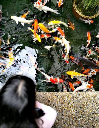 Water High Angle View Koi Carp Nature Carp Fish Animal Themes Outdoors