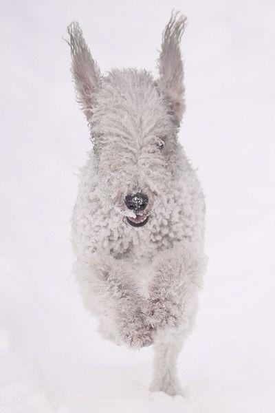 Bedlingtonterrier Terrier Dog Winter White By CanvasPop