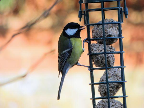 Great Tit, Birdfeeders Great Tit Bird Animal Wildlife Perching Animals In The Wild One Animal