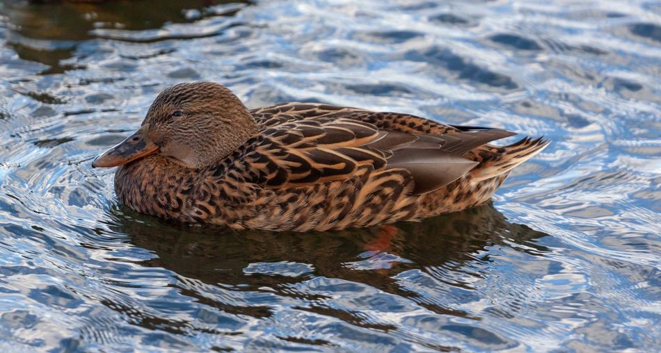 70-200mm Canonphotography Canon Canon500d Animals Wildlife Animal Themes Animal Wildlife Animal Animals In The Wild Vertebrate Bird Water One Animal Duck Lake Waterfront Poultry Swimming Nature High Angle View No People Day Mallard Duck Outdoors