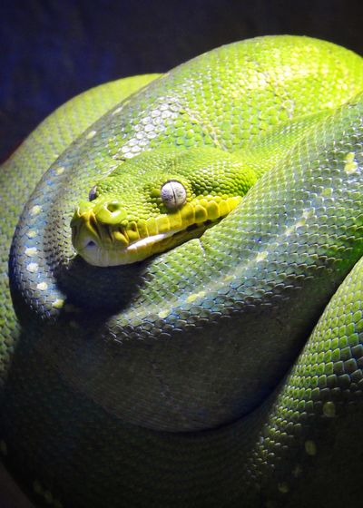 Australia Green Tree Python Snakes Reptile Animal Themes Vertebrate Animal Animal Wildlife Animals In The Wild No People One Animal Close-up Nature Snake Green Color Animal Scale Sunlight Animal Head