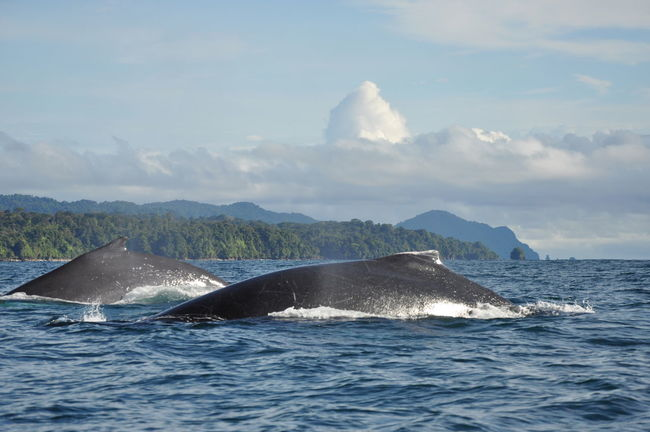 Animal Themes Animals In The Wild Aquatic Mammal Beauty In Nature Choco Colombia Humpback Whale Mammal Mountain Nature Nuquí Pacific Ocean Sea Sea Life South America Water Waterfront Whale Two Is Better Than One Animals The Great Outdoors - 2017 EyeEm Awards Perspectives On Nature An Eye For Travel