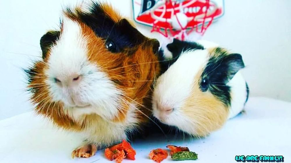 Peggy & Patsy First Eyeem Photo Guineapiglove Animal Cuteeee♥♡♥ Fuzzy #peaches #candy #sweets Home BeautifulPets Indoors  Guineapig Tranquil Scene Phantasy No People Animal Themes Pets Hungry Yet?
