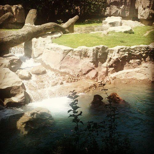 Zoologicodechapultepec Refrescandonse <3 Osos Guapos .. Hoy toco baño :3