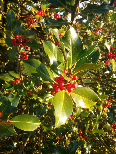 December Agriculture Beauty In Nature Branch Christmas Decorations Christmas Time Christmas Tree Close-up Day Food And Drink Freshness Fruit Green Color Growth Healthy Eating Ilex Ilex Holly Ilex Stechpalme Leaf Nature No People Outdoors Red Sunlight Tree