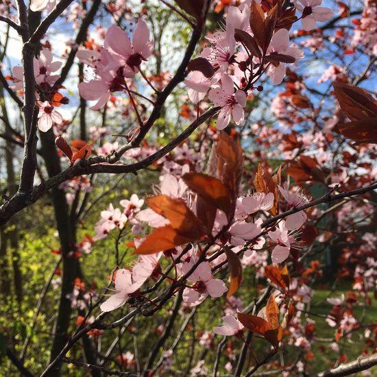 096/365 Der Frühling, der Frühling Nature Growth Beauty In Nature Outdoors Close-up Fragility Eyeempinneberg Photooftheday Sorcerer86 Bilsbekblog Photo365 IPhoneography Iphone6 Eyeemgermany
