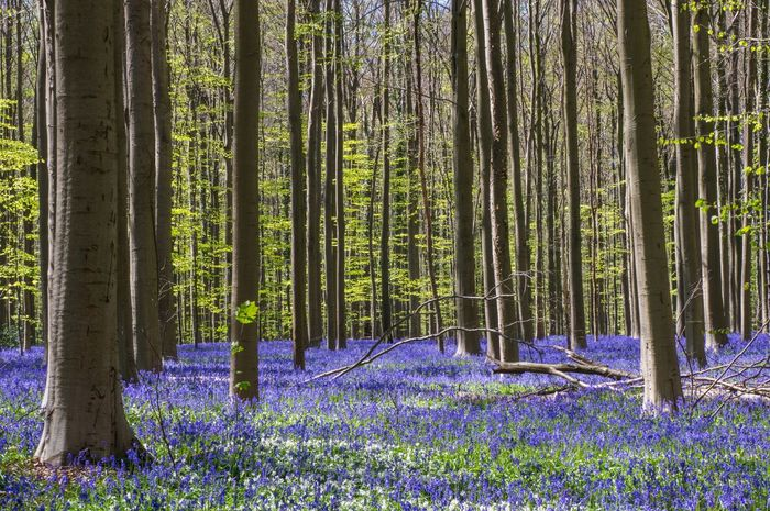 Hallerbos Belgium Forest Bluebells Purple Nature_collection Nature Trees