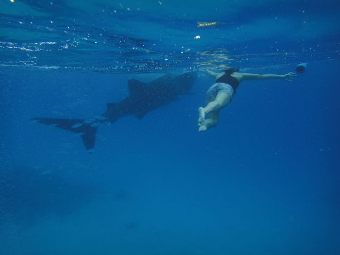 Rear View Of Woman Swimming By Whale Shark In Blue Sea