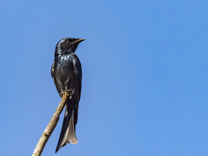"Bronzed Drongo (Dicrurus aeneus) race ""aeneus"" Animal Animal Wildlife Bird Animal Themes Animals In The Wild Vertebrate One Animal Perching Sky Low Angle View Clear Sky Copy Space Blue No People Nature Day Branch Tree Plant Black Color Outdoors"