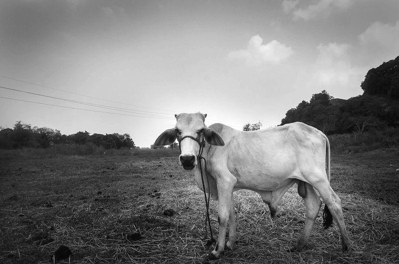 Bull on field
