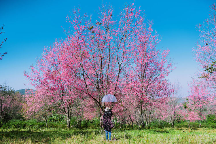 I want to do with you what the spring does with the cherry trees. Sakura.The cherry blossoms from the umbrella. A young woman holding an umbrella in Sakura Park. Nature Flower Sky Vintage Tree Happiness Celebration Standing Sakura Umbrella Cherry Blossoms Hello World Cherry Blossom Plant Cherry Tree Land Cherry Freshness Cherryblossom Beauty In Nature Lifestyles Sakura Blossom Pink Color One Person Flowering Plant