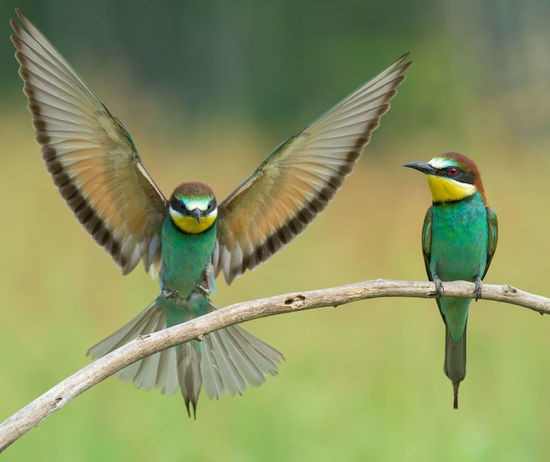 Animal Animal Themes Avian Beauty In Nature Bee-eater Bird Blue Close-up Day Focus On Foreground Green Color Multi Colored Nature No People Outdoors Perching Selective Focus Wildlife