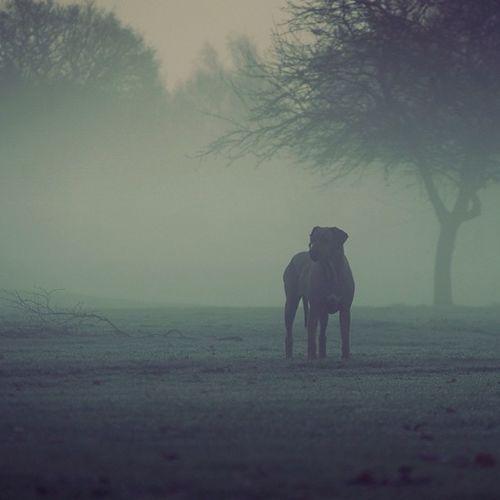 #lillydog #rhodesian #ridgeback #fog #mist #morning #cloudporn #walk #sunrise #fields #trees #countryside #cheshire #uk Sunrise Trees Fog Fields Mist Cloudporn Countryside Uk Ridgeback Cheshire Rhodesian Lillydog Walk Morning