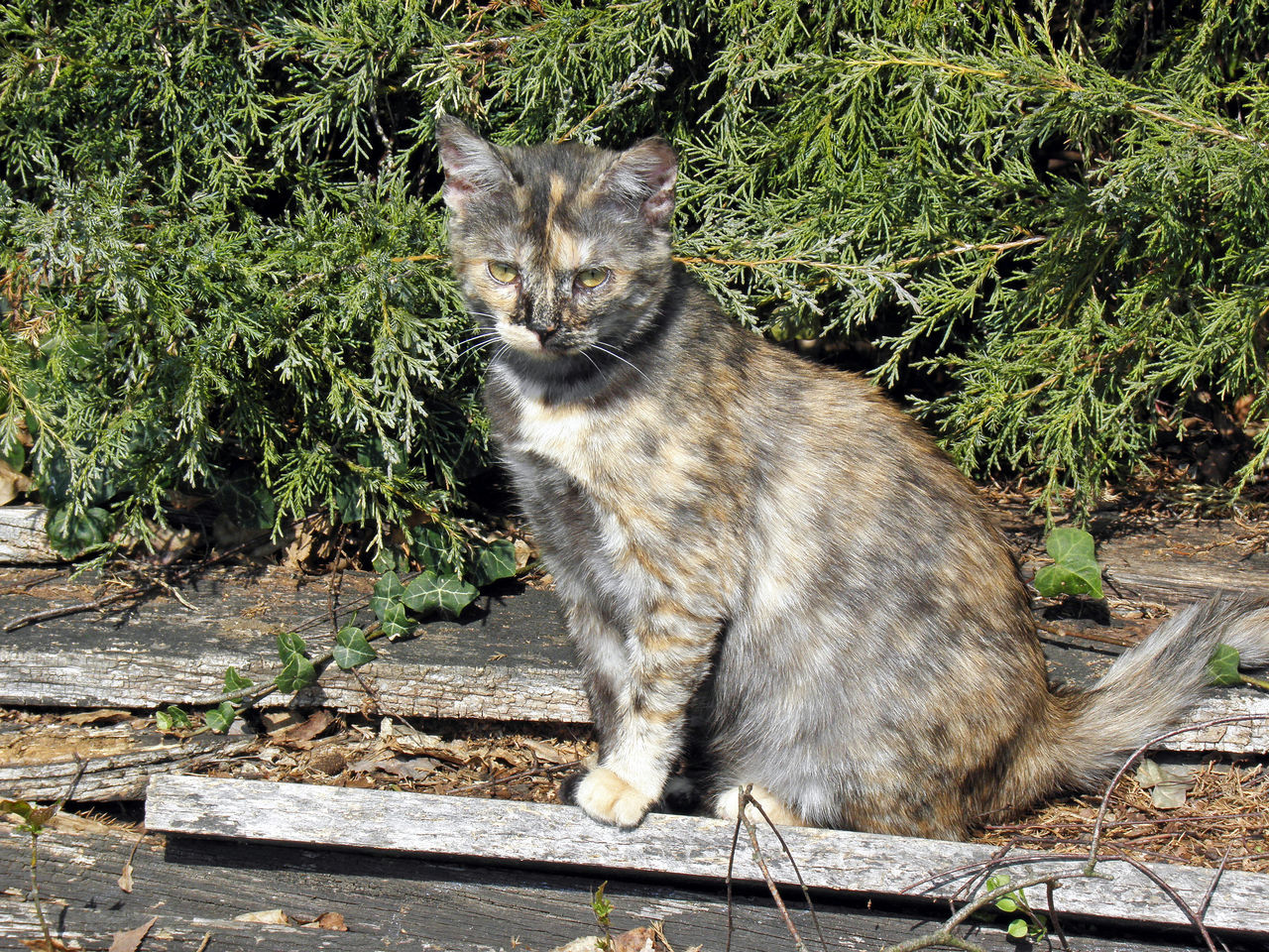 domestic cat, one animal, feline, mammal, domestic animals, animal themes, pets, portrait, outdoors, looking at camera, plant, sitting, no people, day, grass, nature