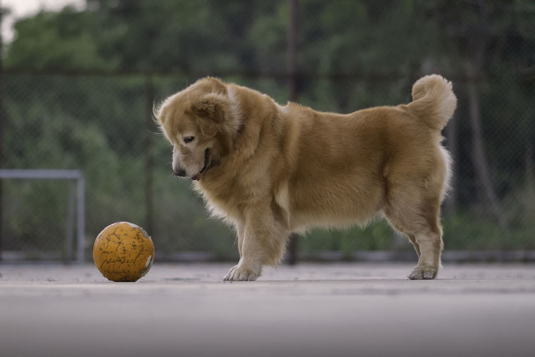View of a dog with ball in mouth