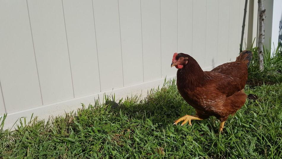 Backyard Chickens Backyard Chicken Rhode Island Red Urban Chickens Backyard Farmer