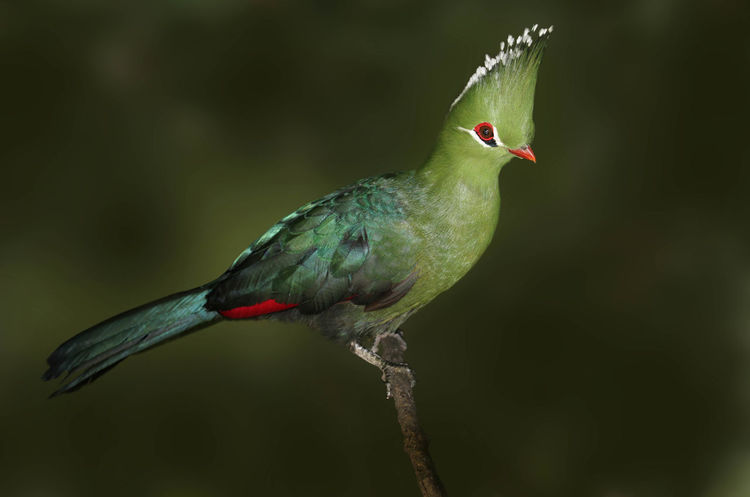 Knysna Turaco Portrait Knysna Turaco Portrait Turaco Animal Themes Animal Wildlife Animals In The Wild Beauty In Nature Bird Close-up Day Focus On Foreground Nature No People One Animal Outdoors Perching Red