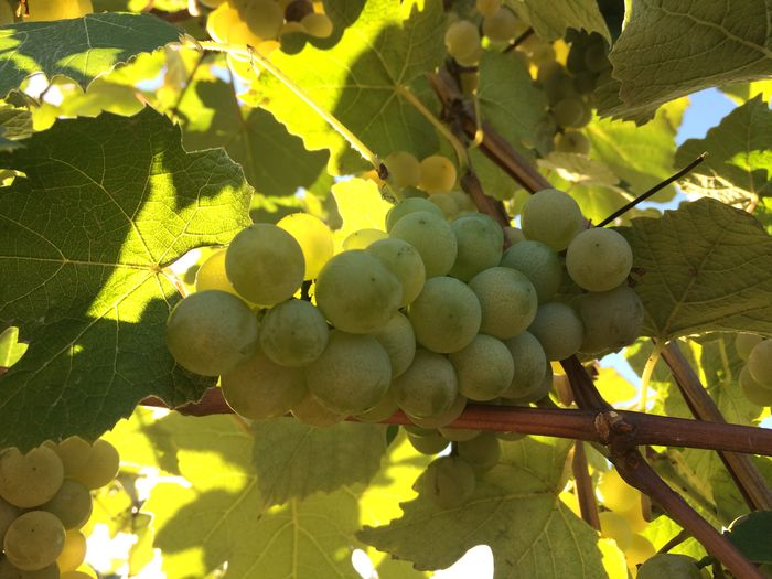 Low angle view of grapes