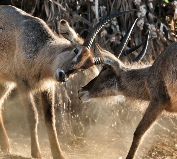 Antelopes fighting on field